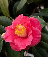 Camellia japonica, a deep pink camellia with yellow centre blooming in February in the consrvatory at Chiswick House, Chiswick, London, UK