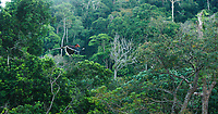 A male Helmeted Hornbill (Rhinoplax vigil) flies over the rainforest canopy in Thailand carrying a fig in his bill, on his way to deliver food to his mate in their nest.  Budo-Sungai Padi National Park<br /> Narathiwat Province<br /> Thailand