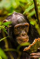 """Chimpanzees, Kibale Forest National Park, Uganda.            Known as """"The Primate Capital of the World"""" Kibale has the largest number of primates of any national park in the world."""