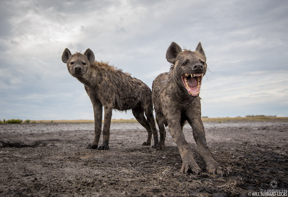 Spotted hyena (Crocuta crocuta)  Liuwa Plain National Park, Zambia Photographed with BeetleCam.
