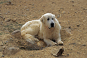 The Pyrenean Mountain Dog is a breed of livestock guardian dog from France, where it is known as the Chien de Montagne des Pyrénées or more commonly the Patou. It is called the Great Pyrenees in the United States. The breed comes from the French side of the Pyrenees Mountains that separate France and Spain. It is recognised as a separate breed from the closely related Pyrenean Mastiff which is from the Spanish side of the mountains.