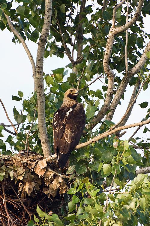 Kaiseradler, Aquila heliaca, Ost-Slowakei / Eastern Imperial Eagle, Aquila heliaca, East Slovakia