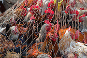 Caged chickens on sale at a market in slum settlements  near the main train station in Dhaka, Bangladesh.