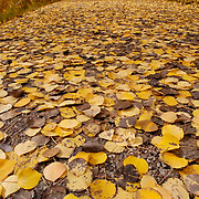 Path covered with bright yellow colored Apsen leaves during Fall. Colorado. Fall.