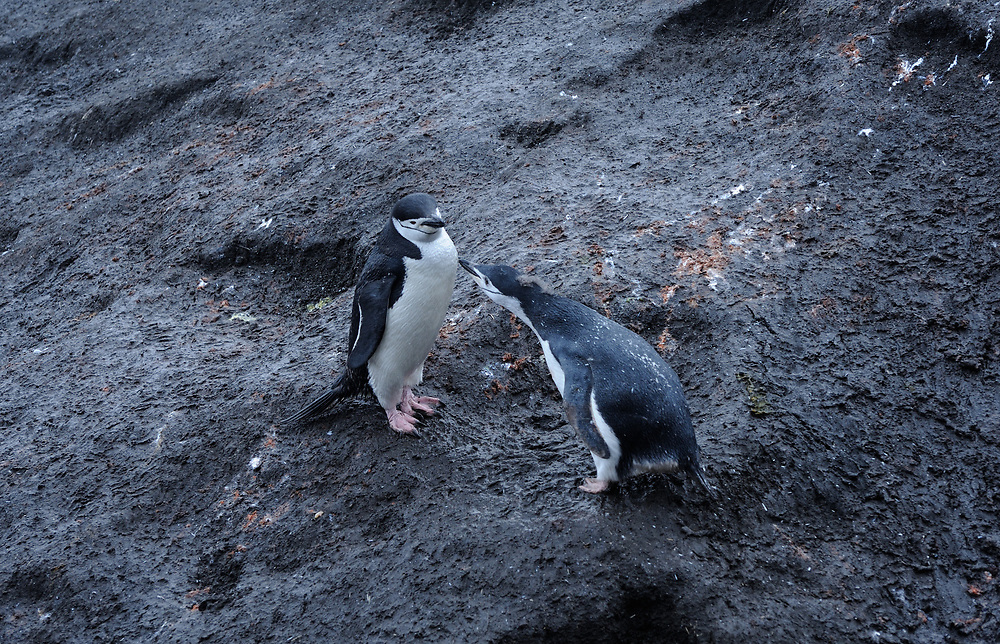 A young Chinstrap Penguin (Pygoscelis antarctica), almost fully moulted into adult plumage begs for food.  Saunders Island, South Sandwich Islands. South Atlantic Ocean. 25Feb16