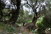 Ancient olive trees in Kioni, Ithaca, Greece. Ithaca, Ithaki or Ithaka is a Greek island located in the Ionian Sea to the west of continental Greece. Ithacas main island has an area of 96 square kilometres. It is the second-smallest of seven main Ionian Islands.
