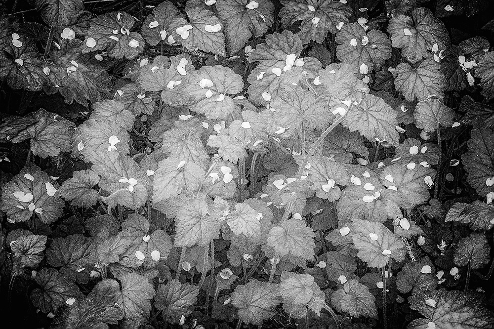 Forest floor design, wild cherry petals, April, Elwha River watershed, Clallam County, North Olympic Peninsula, Washington, USA