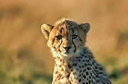Cheetah, Acinonyx jabitus, Masai Mara, Kenya, Africa, looking, face, eyes,