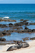 Hawaiian monk seals, Monachus schauinslandi, Critically Endangered endemic species,  a 5 year old male (RO36), on left, scuffles with a female (R318), on right, at beach on west end of Molokai, Hawaii ( Central Pacific Ocean )