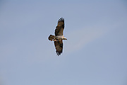 An Osprey with a fish, Yellowstone National  Park, Wyoming.