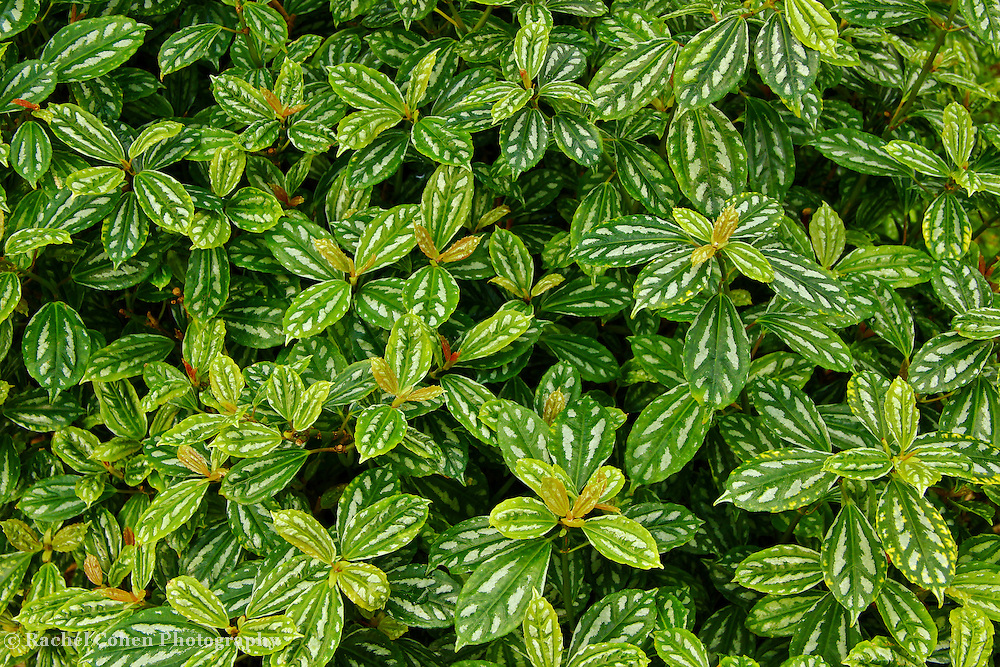 """""""Fine Greenery""""<br /> <br /> Enjoy the beauty of lovely green and white variegated leaves in this wonderful botanical image!!<br /> <br /> Nature of this World by Rachel Cohen"""