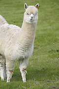 Alpaca near the village of Stoke Doyle in Northamptonshire