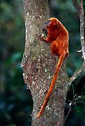 Besides fruits, flowers and nectar Golden Lion Tamarins feed on a variety of insects and small amphibians. | Neben pflanzlicher Nahrung nehmen Löwenäffchen auch eine Vielzahl an Insekten und kleineren Amphibien zu sich.