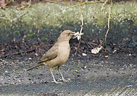 Clay-colored Thrush, Turdus grayi, catches insects at the side of a road in Monteverde, Costa Rica