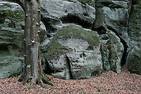 Sandstone formation and beech tree (Fagus sylvatica), Mullerthal trail, Mullerthal, Luxembourg