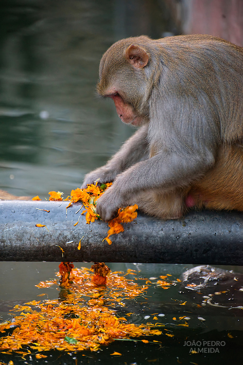 Monkey at the temples of Galtaji