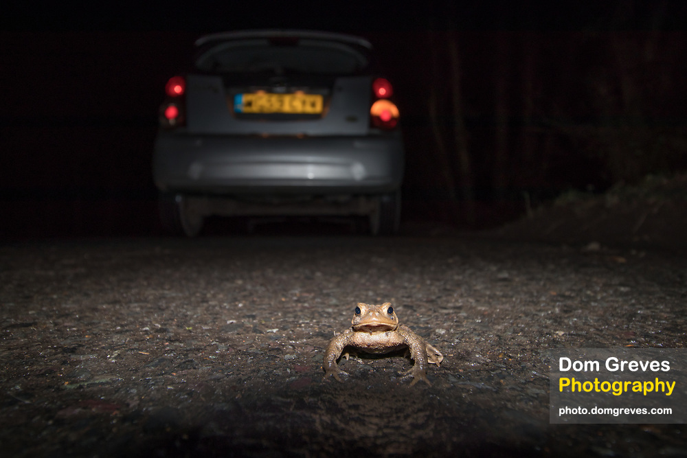 Toad (Bufo bufo) crossing a road at night on migration to breeding pond. Sussex, UK.