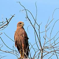 South America, Brazil, Pantanal. Savannah Hawk perched in a treetop at the Pantanal.
