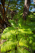 Amau Fern, Hawaii Volcanoes National Park, Island of Hawaii, Hawaii