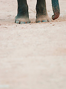 Elephant feet, at the Pinnawela Elephant Orphanage, Kegalle, Sri Lanka