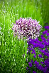 Allium cristophii with lavender in bud and Viola 'Martin'
