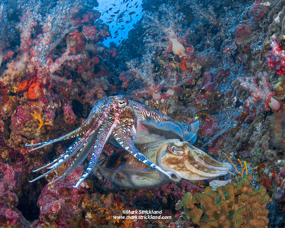A pair of Pharaoh Cuttlefish, Sepia pharaonis, maintain close contact during courtship. Richelieu Rock, Thailand, Andaman Sea