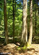 Forest Floor, aged Hemlocks, White Pine, Reed's Gap State Park, Mifflin Co. PA