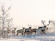 Reindeer stand the snow in the countryside at Karasjok, Finnmark region, northern Norway