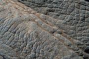 White rhinoceros skin (Ceratotherium simum)<br /> , <br /> SOUTH AFRICA<br /> RANGE: Southern & East Africa<br /> ENDANGERED SPECIES