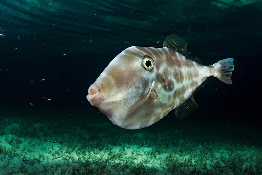Unicorn Filefish (Aluterus monoceros) at night in The Bahamas.