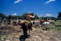 Cowboy using a lasso with longhorn cattle