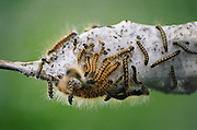 A group of tent caterpillars (Malacosoma sp) and their constructed silk tent on a defoliated tree branch in the Nisqually National Wildlife Refuge, on the Nisqually River Delta in southern Puget Sound, Washington.