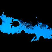 Hawksbill turtle (Eretmochelys imbricata) swimming over a coral reef crevasse, Jardines de la Reina, Gardens of the Queen National Park, Cuba.