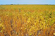 Soybean crop<br /> Griffin<br /> Saskatchewan<br /> Canada