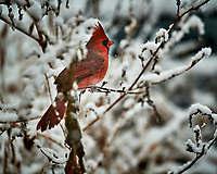 Male Northern Cardinal on a snowy day. Image taken with a Nikon D5 camera and 600 mm f/4 VRII lens (ISO 560, 600 mm, f/4, 1/1250 sec).