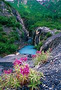 Dwarf Fireweed on rocks near a small, blue pond of glacial runoff near Exit Glacier - Alaska