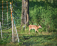 Fawn with spots. Image taken with a Nikon D5 camera and 600 mm VR lens