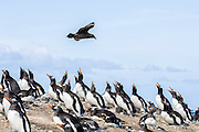 A Brown Skua (Stercorarius antarcticus) flies low above nesting Gentoo penguins (Pygoscelis papua), Sealion Island, Falkland Islands