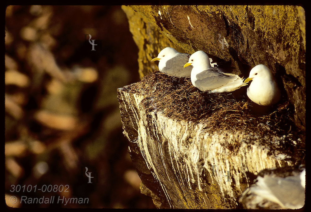 Kittiwakes perch along cliff ledge on grass nests near sunset on Grimsey Island in May. Iceland