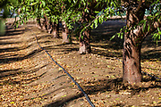 Drip irrigation being used to water almond trees. Rod Cardella runs Cardella Winery, a family business since 1969, which grows almonds, broccoli and other crops as well as grapes. With the high price of water in recent years, Rod has turned to technology and drip irrigation to lower water usage and like many other farmers is planting high value crops such as almonds. Fresno County, San Joaquin Valley, California, USA