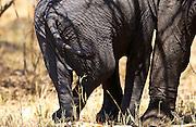 Baby Elephant crossed legged, resting against its mother, Serengeti