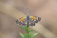 A Mormon metalmark rests midday on a warm late-summer day just east of Provo, Utah in a canyon clearing full of wildflowers and magpies.