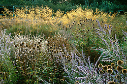 Backlit grasses, perovskia and echinops seedheads in a natural planting at The American Impressionists Garden, Giverny, France