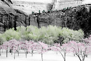 Orchard,  spring, selectively colored black and white infared, Capitol Reef National Park, Utah, USA