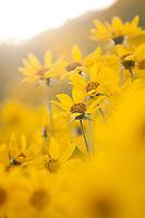 Balsam Root wildflowers bloom in Jackson Hole, Wyoming.
