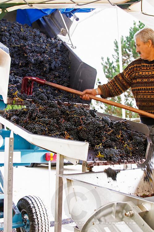 Grape reception at the winery. Merlot. Chateau Grand Corbin Despagne, Saint Emilion Bordeaux France