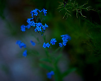 Blue Forget Me Not Flowers. Image taken with a Nikon D850 camera and 105 mm f/1.4 lens