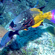 Creole Wrasse court and spawn daily from mid to late afternoon in Tropical West Atlantic; picture taken Roatan, Honduras.