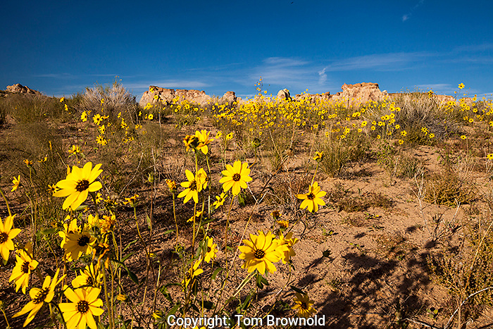 Sunflowers growing on a sand dune.