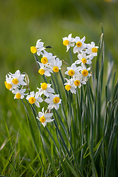 Narcissus 'Canaliculatus' growing in grass
